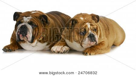bulldog mother and daughter that look the same laying together on white background poster