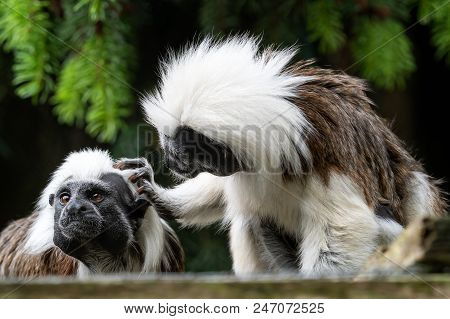 Cotton-top Tamarin (saguinus Oedipus) Little Monkeys. Little Cute Monkey