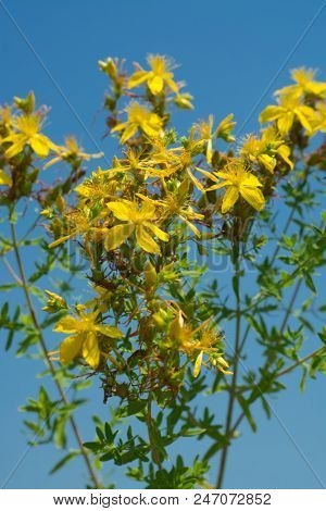 Flower medicinal plants - Hypericum perforatum (aka. perforate St John's-wort) a medicinal herb with antidepressant activity