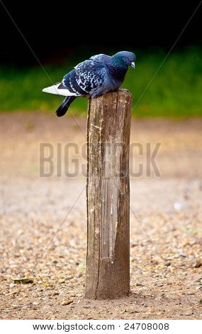 Pigeon sitting on a pole