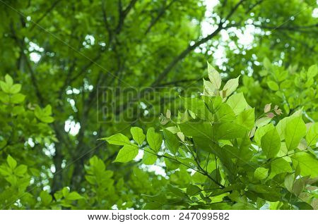 The Green Leaves On White Background In Spring Season At Natural Park Have Colourful Of Tree For Rel