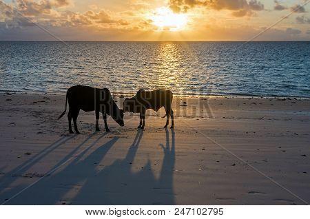 Young Bulls At Dawn On The Ocean Shore. Zanzibar, Tanzania, East Africa.