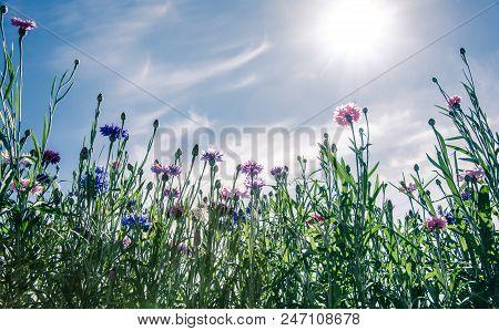 Wild Flowers, Cornflowers,  Blooming Over Blue Sky