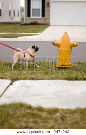Pug Dog At Fire Hydrant