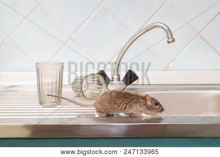 Closeup Young Rat (rattus Norvegicus) Prowls On The Sink At Kitchen On Background Of Two Faceted Gla