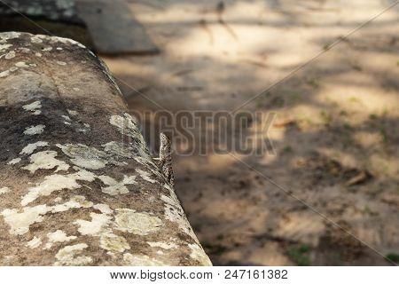 Tropical Lizard On Mossy Stone. Tropics Natural Photo. Little Iguana Resting On Sunny Stone. Jungle