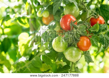 Branch With Red And Yellow Tomatoes On The Bush