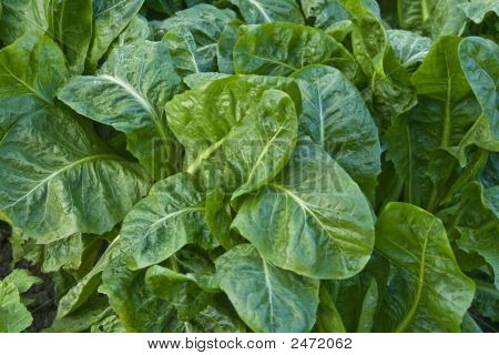 Fresh Market Spinach
