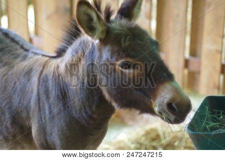 Young Donkey Jackass Mammal Domestic Farm Animal Country