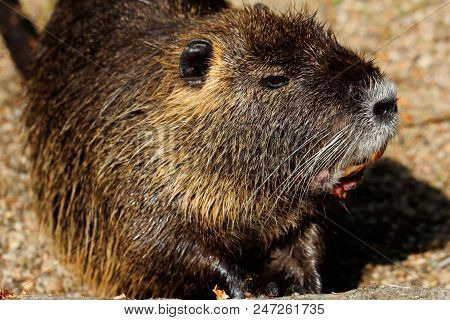 Portrait Of Coypu Nutria. Myocastor Coypus, Sitting Near The Rivershore. Photography Of Nature And W