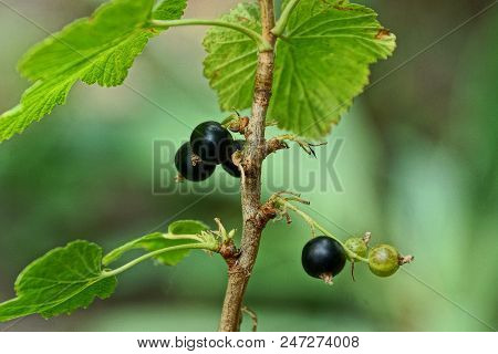 Black Currant Berries On A Bush Branch With Leaves