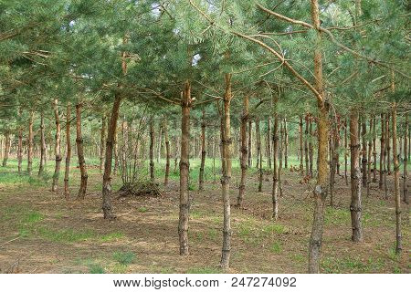 Young Green Pines In A Summer Forest