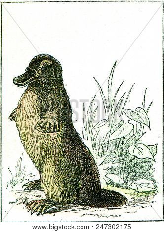 Ornithorynque paradoxical, vintage engraved illustration. From Natural Creation and Living Beings.