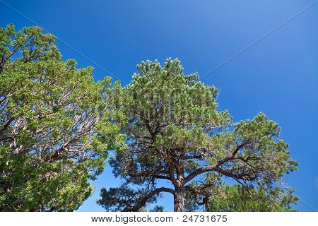 Pinyon And Juniper Trees Blue Sky New Mexico Usa