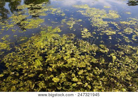 Algal bloom green algae in a freshwater lake poster
