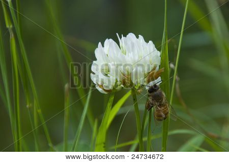 Clover flower with a bee on it