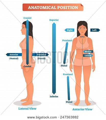 Vector Illustration Of Anatomical Positions. Scheme Of Superior, Inferior And Proximal, Distal Locat