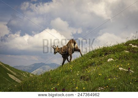 Tatra Chamois ( Rupicapra Rupicapra Tatrica ). Tatra Mountains. Poland.