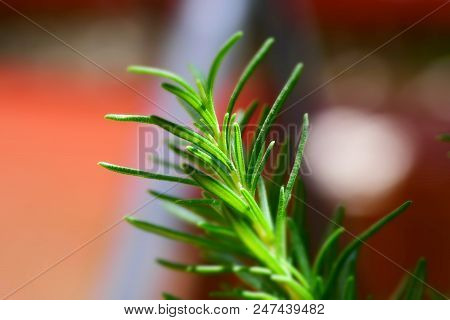 Closeup To The Rosemary Plant, Organic, Herb