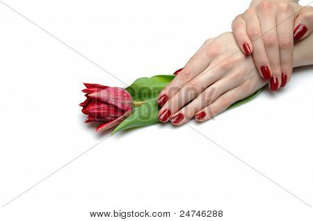 Beautiful Hand With Perfect Nail Red Manicure And Tulip. Isolated On White Background