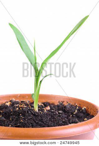 Little Green Sprout In A Flowerpot