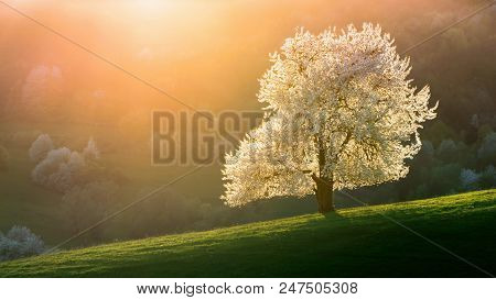 Spring Cherry Tree, Meadows And Fields Landscape In Slovakia. Blossoming Cherry Trees. Fresh Country