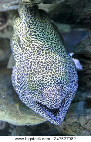 Close-up Of Leopard Moray Eel Or Dragon Moray With Open Mouth In The Coral Reef. Enchelycore Pardali