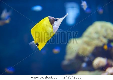 Longnose Butterflyfish In Aquarium. Bright Exotic Fish.