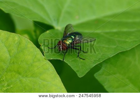 A Large Green Fly Sits On A Leaf Of A Plant