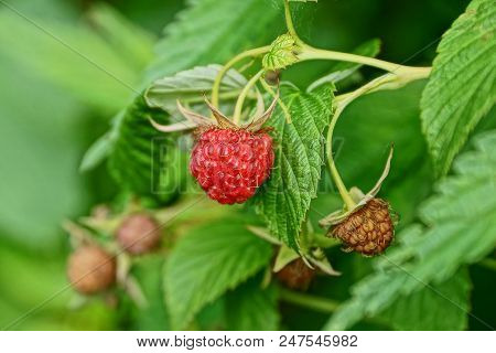 Red Berries Raspberries On A Branch With Green Bush Leaves