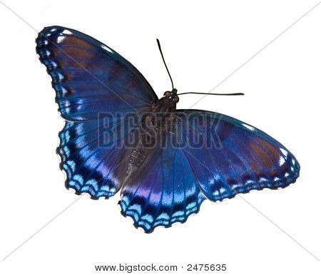 Red-Spotted Purple On White