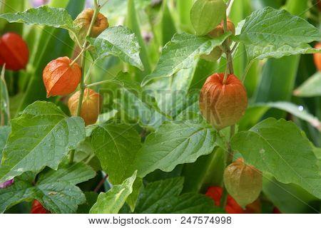 Cape Gooseberry Flowers In A Garden Ripening