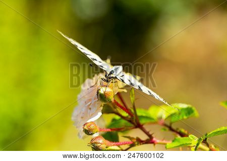 Beautiful Butterfly Papilio Machaon On Bright Red Flower. Summer Natural Background. Beautiful Multi