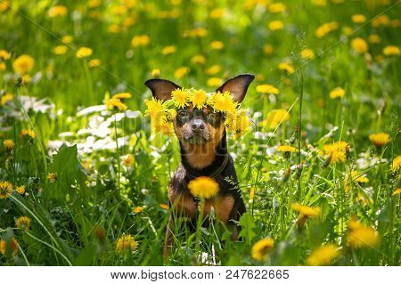 Сute Puppy, A Dog In A Wreath Of Spring Flowers  On A Flowering Meadow, A Portrait Of A Dog. Spring