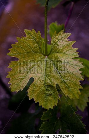 Grape Leaf Isolated. Collection. Full Depth Of Field.grape Leaf On Branch With Tendrils Isolated.gra