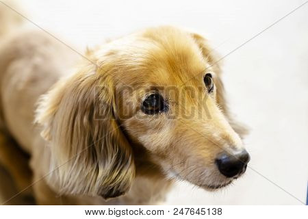 Longhair Dachshund On The Carpet.dog Stares Seriously.close Up.