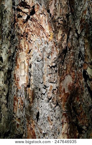 Close Up Of The Sunlight Bark Of A Conifer Tree