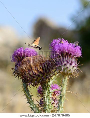 Hummingbird Hawk Moth Feeding On Flower, Macroglossum Stellatarum, Iglesias, South Sardinia, Italy.