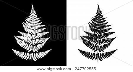 Fern Black-and-white Vector Image. Black Fern Silhouette Isolated On White Background And White Fern