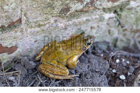 The Common Frog, Rana temporaria, beside a garden wall in Norfolk, England