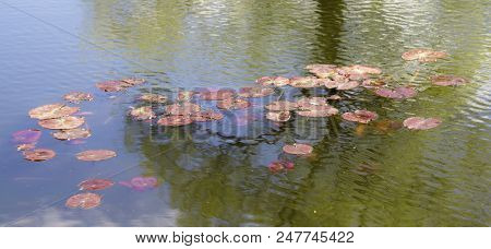 Pond With The Water Lilies. Water Lily. Pond Flower.