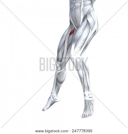 Concept conceptual 3D illustration fit strong front upper leg human anatomy, anatomical muscle isolated white background for body medical health tendon foot and biological gym fitness muscular system