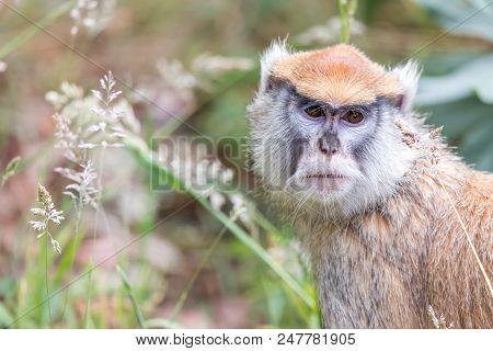 Patas Monkey (aka wadi monkey, dancing monkey, sergeant-major monkey, hussar monkey, and military monkey) Portrait.