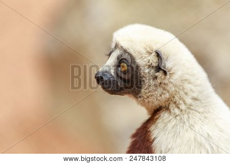 Coquerels Sifaka Profile. The Coquerels Sifaka Is A Diurnal, Medium-sized Lemur Of The Sifaka Genus