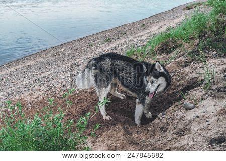 Cute Dog Digs The Ground. Husky Dog In The Sand. Crafty Muzzle Siberian Husky