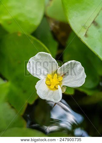 A Close Up Swamp Flower (hydrocharis Dubia,frog Bit)