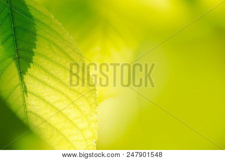 Fresh Spring Green Leaves Over Blurred Bright Background