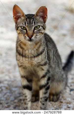 Portrait Of Feral Grey-brown Striped Cat In The Countryside. Photography Of Nature And Wildlife.