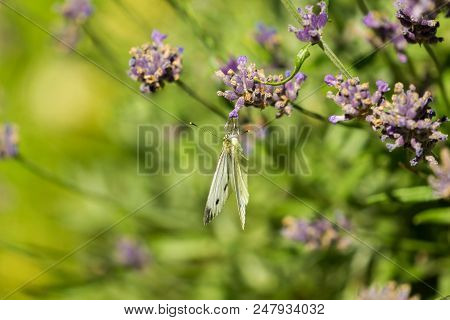 Close-up Of A Cabbage White Butterfly (pieris Rapae) Who Hanging On A Blooming Lavender. Side View O