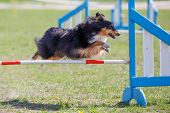Sheltie Dog jumping over hurdle in agility competition poster